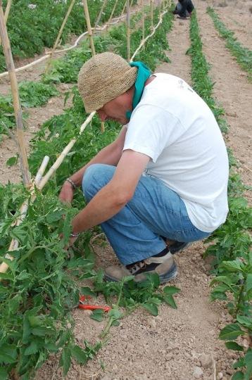 trabajando el las tomateras