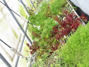 acelga-roja-plantones