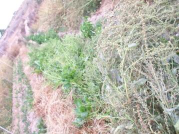 acelga-verano-semillero