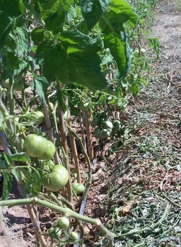 acolchado-tomates