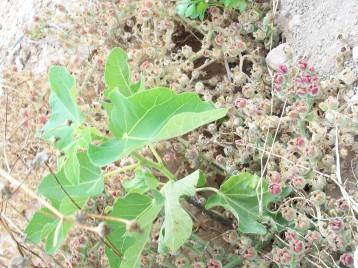 arbol-higo-hierba-helada