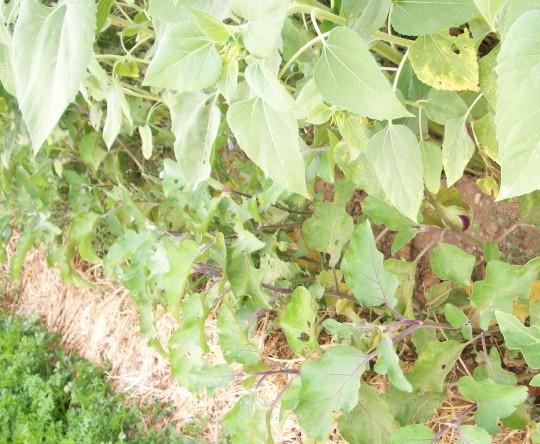 berenjena-blanca-girasol