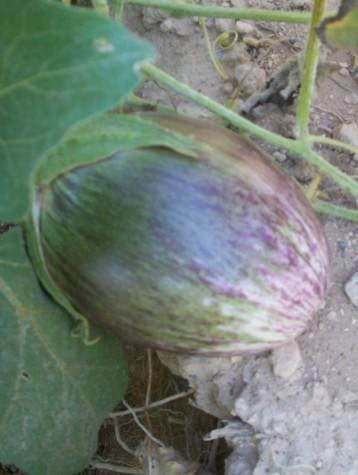 berenjena-listada-violeta