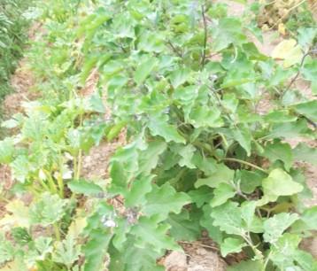 calabacin-argelia-berenjena-morada