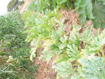 calabacin-blanco-argelia-tomate