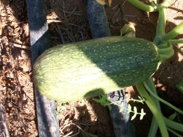 calabacin-rastrero-semillero