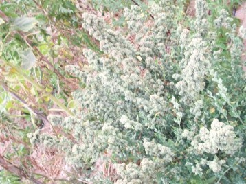 cenizo-bledo-amaranto-sacando-semilla