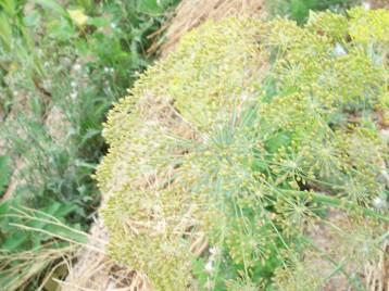 eneldo-flor-acolchado