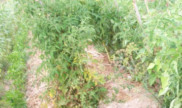eneldo-flor-tomate-pimiento