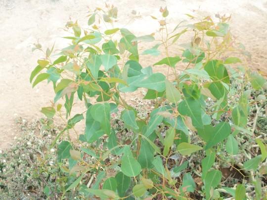eucalipto-hierba-helada