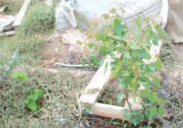eucalipto-morera