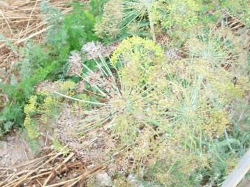 flor-eneldo-zanahoria-red-de-verano