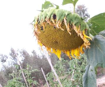girasol-negro-flor-gigante