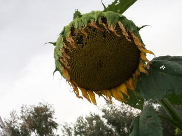 girasol-negro-flor-gigante2