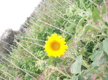 girasol-negro-flor