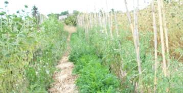 girasol-perejil-tuberculo-tomate-zanhoria