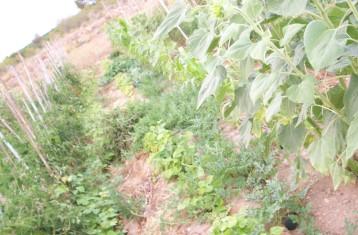 girasol-sandia-negra