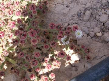 hierba-helada-aveja