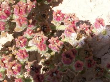 hierba-helada-flor-fruto