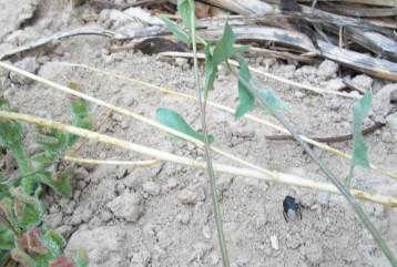 hierba-helada-insecto