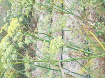 hinojo-bulbo-flores