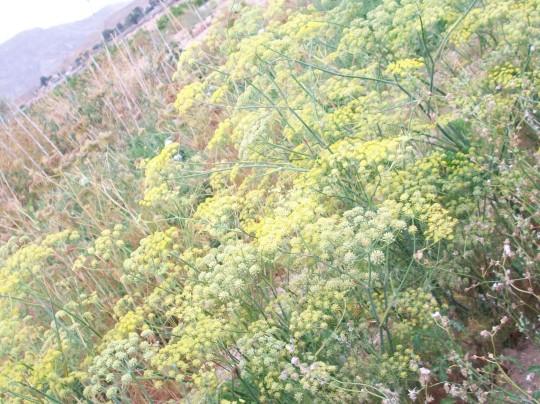 hinojo-de-florencia-bulbo-en-flor