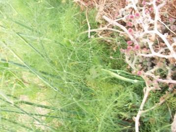hinojo-hojas-hierba-helada-seca