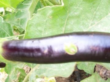 insecto-verde-en-berenjena-china