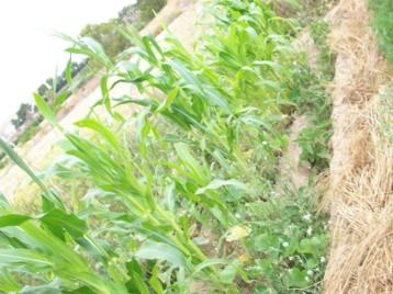 maiz-amarillo-berenjena-listada-acolchado-ecologico