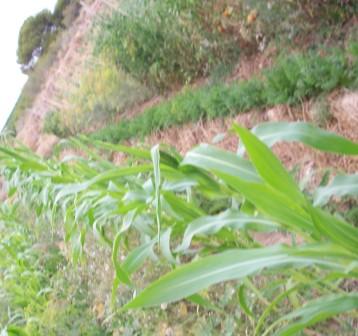maiz-amarillo-hierbas