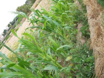 maiz-de-cruz-acolchado