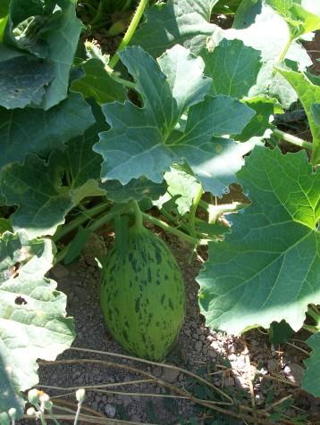 melon-de-sapo-piel
