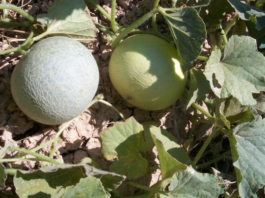 melon-galia-gris