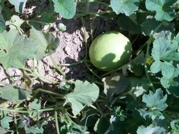 melon-sabroso