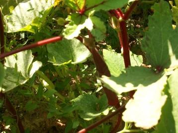 okra-roja-fruto