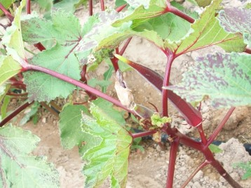 okra-roja-frutos