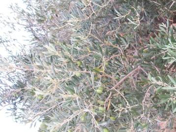 olivos-verdes-arbol