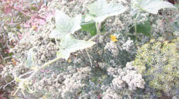 pepino-cenizo-eneldo-flor