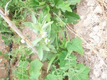 pepino-telegrafo-haba-blanca-tomate-berenjena