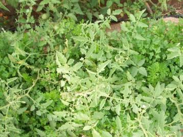 perejil-de-raiz-tomates