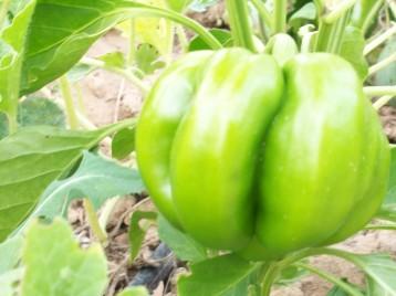 pimiento-bromista-verde