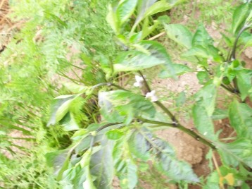 pimiento-negro-flor