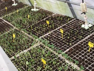 plantones-de-pepino