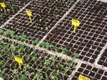 plantones-de-pepino2