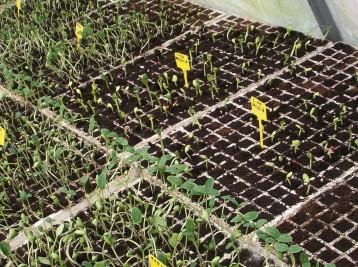plantones-de-pepino4
