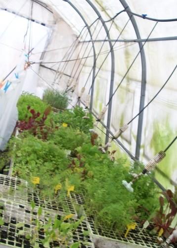 plantones-puerro-acelga-amarilla