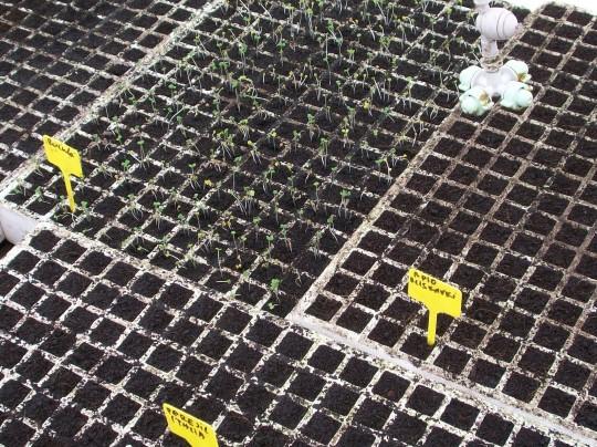 plantones-rucula-2