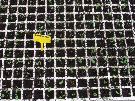 plantones-rucula