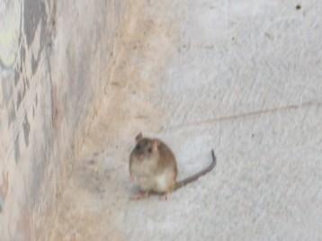 rata-del-campo