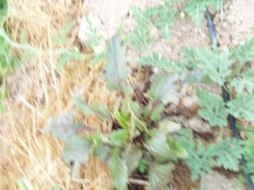 remolacha-egipto-semillero